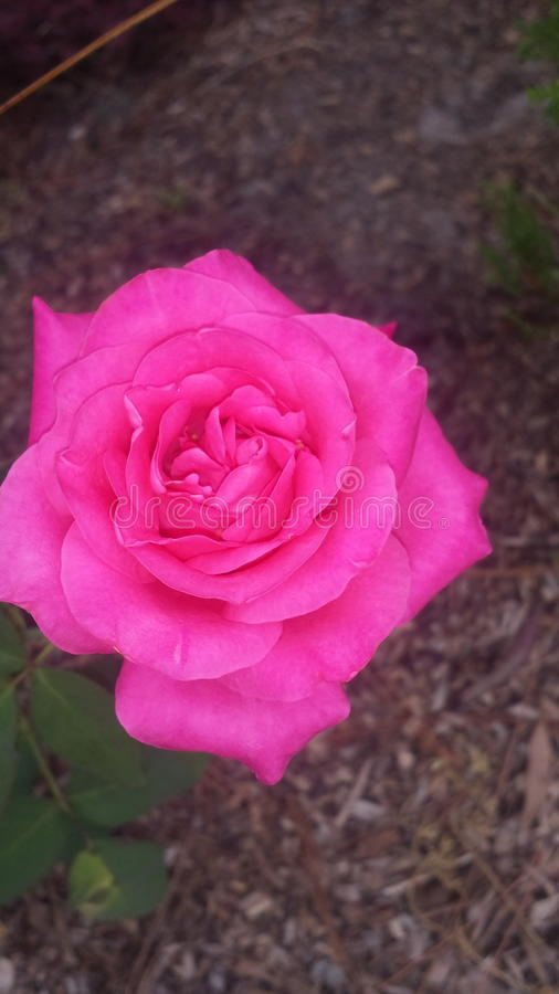Rosafarbene Blume des Rosas stockfotografie