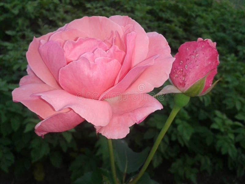 Rosafarbene Blume des Rosas stockbilder