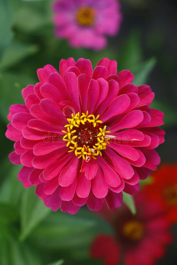 Rosafarbene Blume des schönen Frühlinges mit wunderbarem Geruch lizenzfreie stockbilder