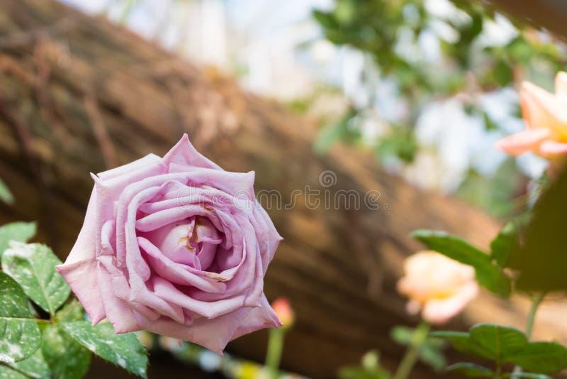 Rosafarbene Blume des schönen Rosas Natürlicher Farbhintergrund Valentinsgruß `s Tag lizenzfreie stockfotos