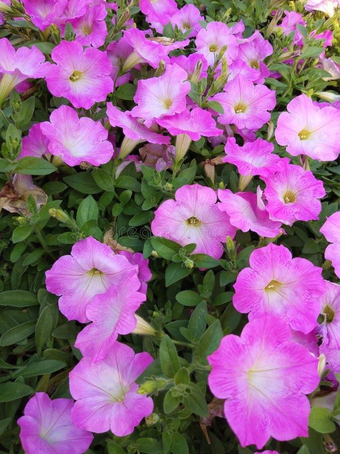Rosafarbene Blume im Garten stockfotografie