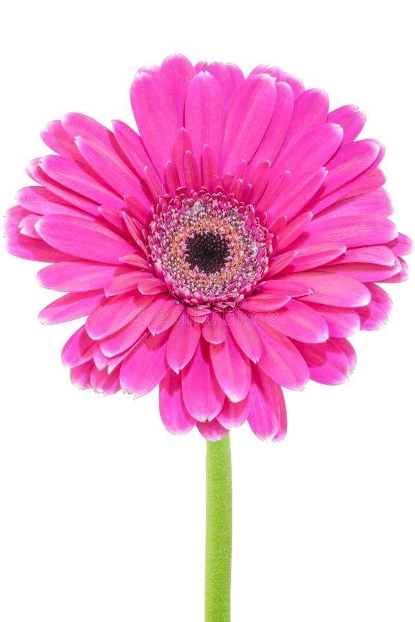 Rosafarbene Blume mit weißem Hintergrund stockfotos