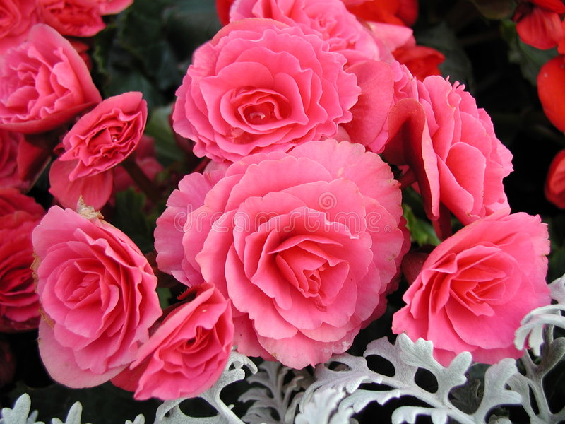 Rosafarbene Blume vergrößern lizenzfreies stockfoto