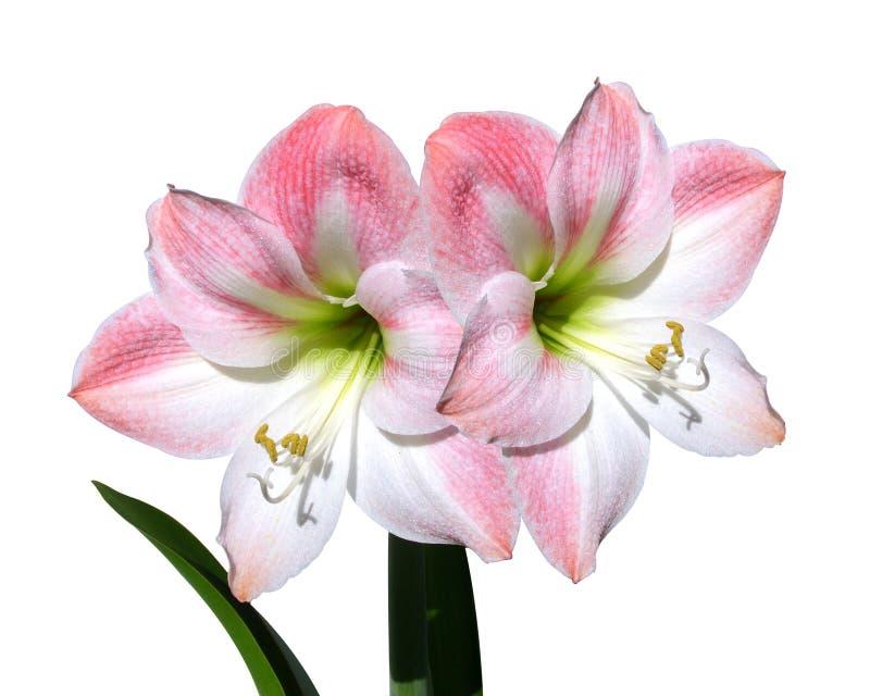 Rosafarbene Blumen der Amaryllis getrennt auf Weiß lizenzfreie stockfotos