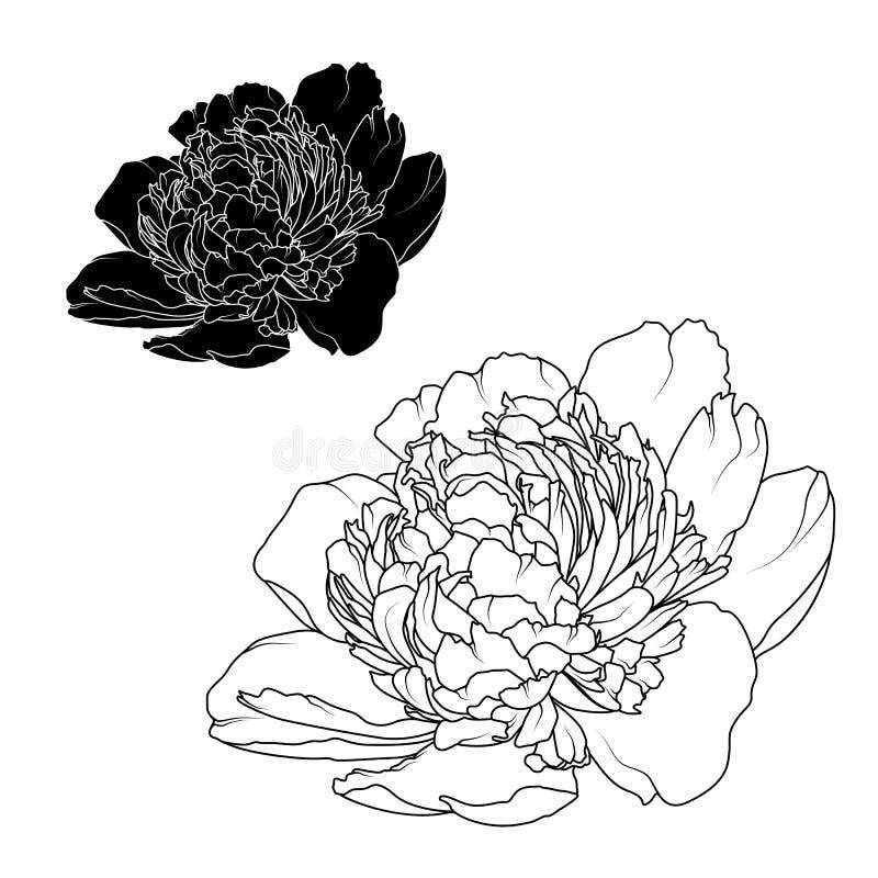 Rosafarbene Blumen der Pfingstrose lokalisierten schwarzen weißen Kontrast lizenzfreie abbildung