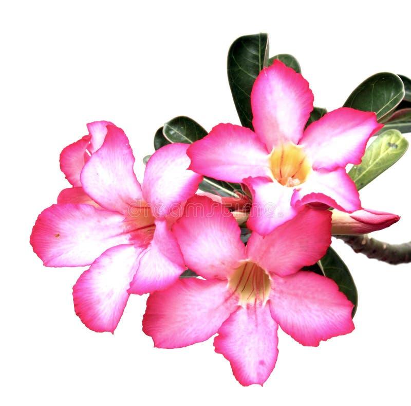 Rosafarbene Blumen der Wüste stockbilder