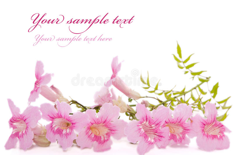 Rosafarbene Blumen getrennt auf Weiß lizenzfreie stockfotos