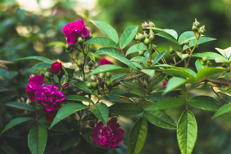 Rosafarbene Blumen im Garten Rote Rosen, Geschenkkarte für Feierentwurf V?gel aus ihrem Rahmenkonzept heraus Rosenbusch, grüne Na stockbild