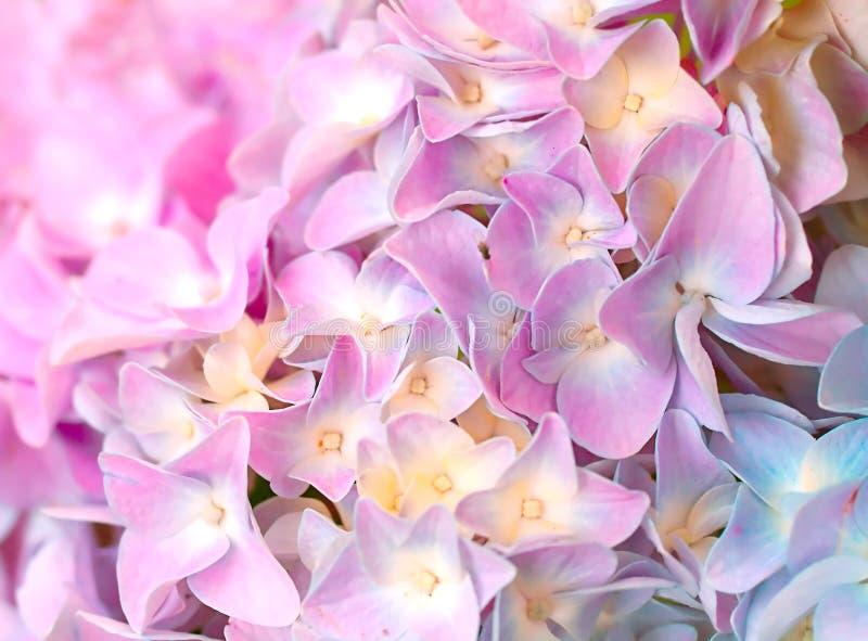 Rosafarbene Blumen von Hydrangea stockfotografie
