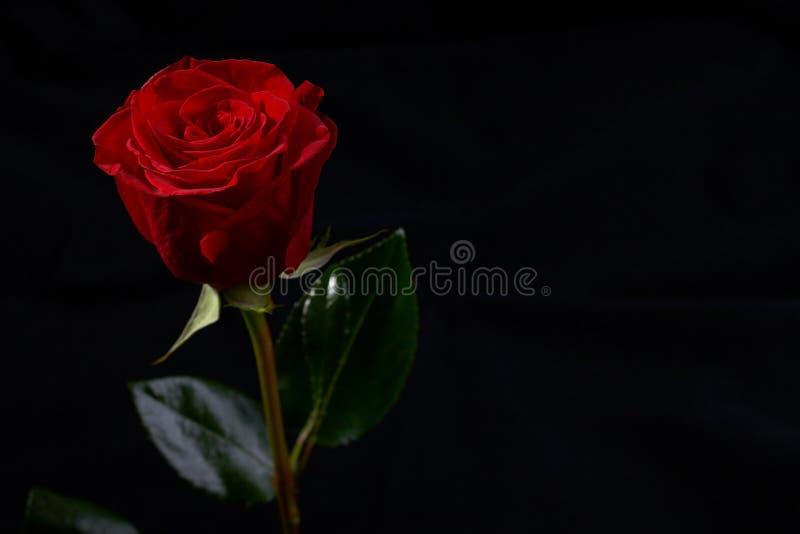 Rosafarbene Blumenblüte des Rotes stockbild