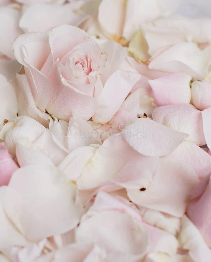 rosafarbene Blumenblumenblätter auf Marmor - Hochzeit, Feiertag und Blumengarten angeredetes Konzept stockfotografie