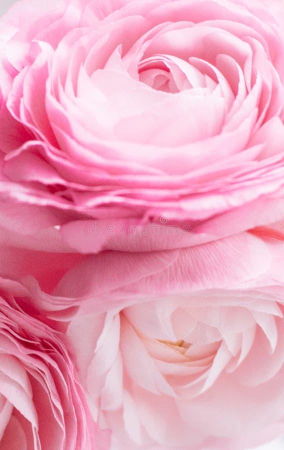 rosafarbene Blumennahaufnahme - Hochzeit, Feiertag und Blumenhintergrund angeredetes Konzept stockfotografie