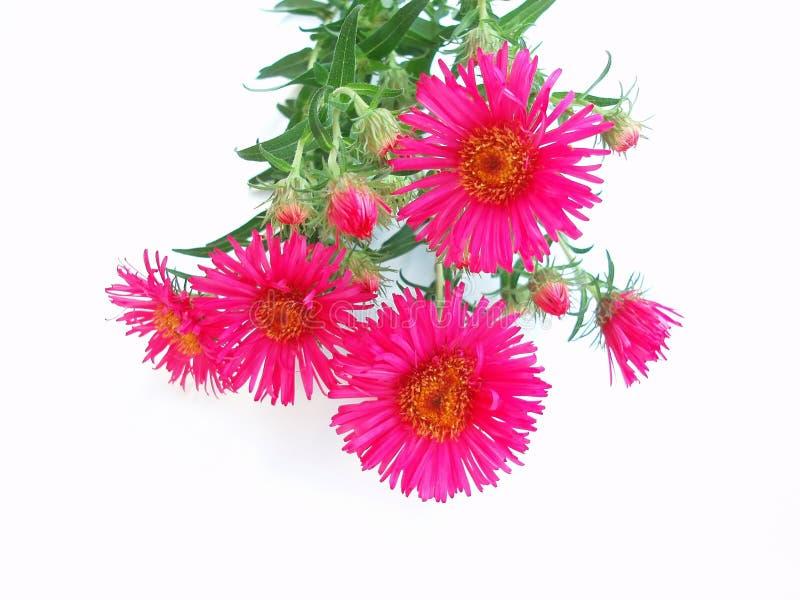 Rosafarbene Chrysantheme Lizenzfreies Stockfoto