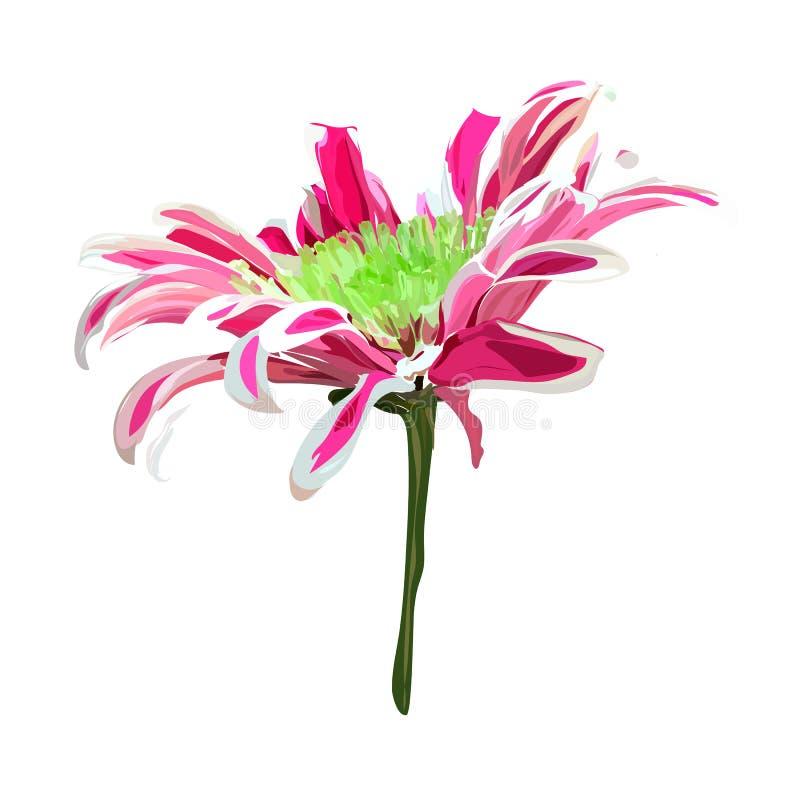 Rosafarbene Chrysantheme auf weißem Hintergrund stockfotografie