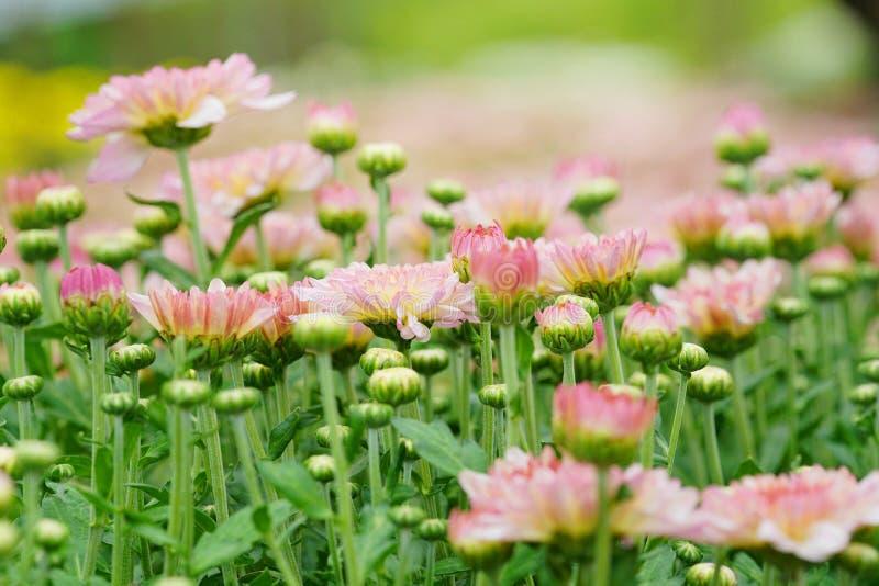 Rosafarbene Chrysanthemeblumen stockfotos