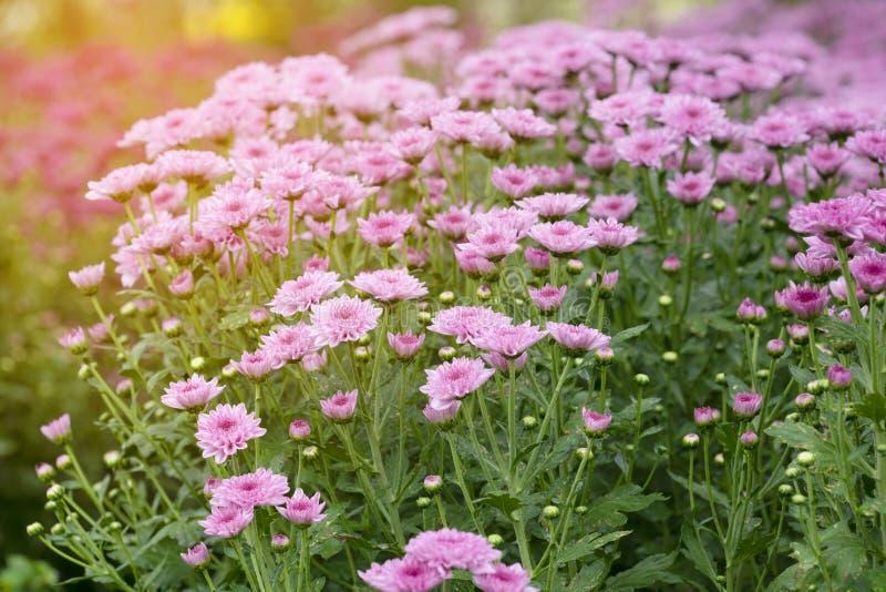 Rosafarbene Chrysanthemeblumen stockbild