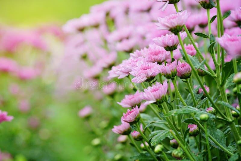 Rosafarbene Chrysanthemeblumen stockbilder