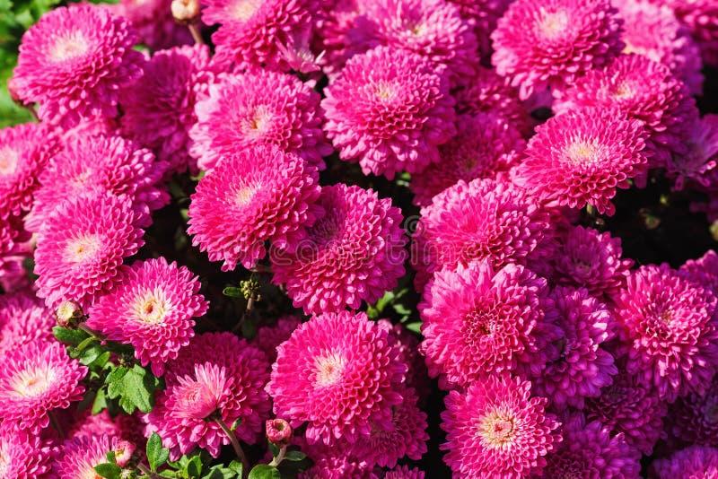 Rosafarbene Chrysanthemeblumen lizenzfreie stockfotos