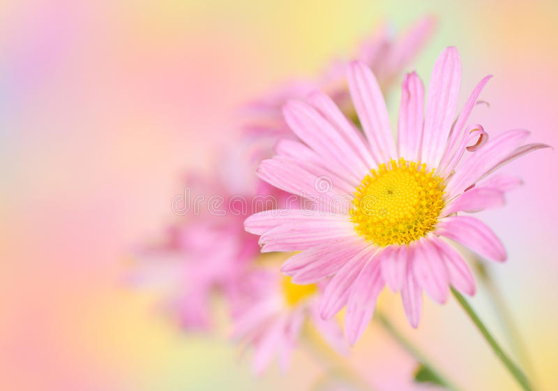 Rosafarbene Chrysanthemeblumen auf buntem Hintergrund stockbilder