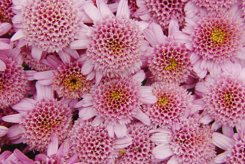 Rosafarbene Chrysanthemen stockfotografie