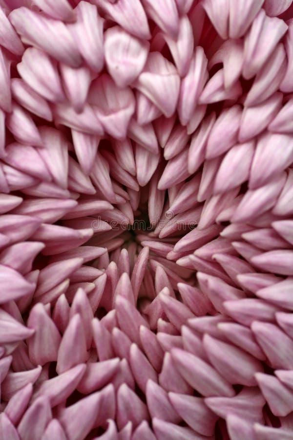 Rosafarbene Dahlie-Blumenblätter stockfoto