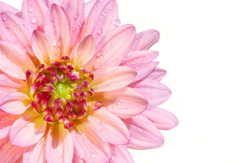 Rosafarbene Dahlieblume stockfotografie