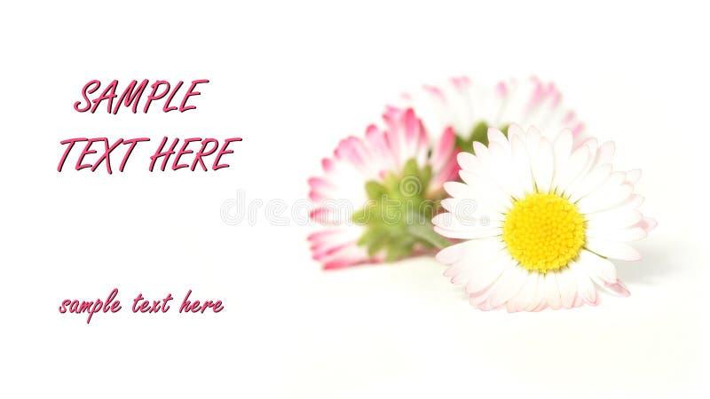 Rosafarbene daisys lizenzfreie stockfotografie