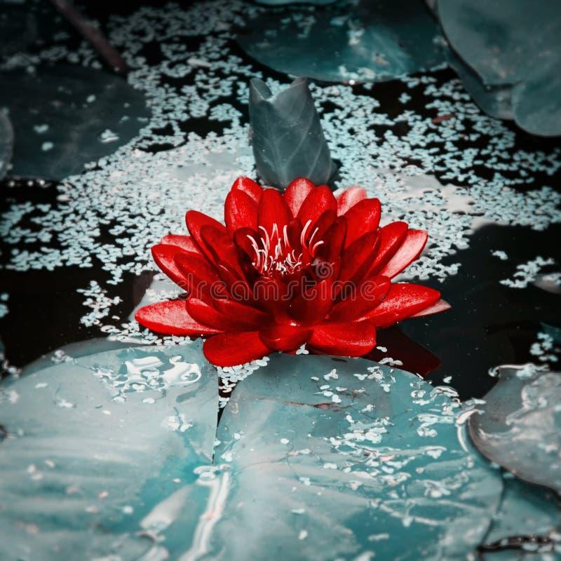 Rosafarbene des Wassers Blume lilly lizenzfreies stockbild