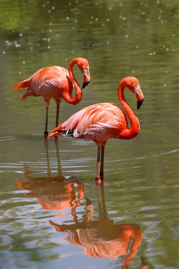 Rosafarbene Flamingovögel stockbild