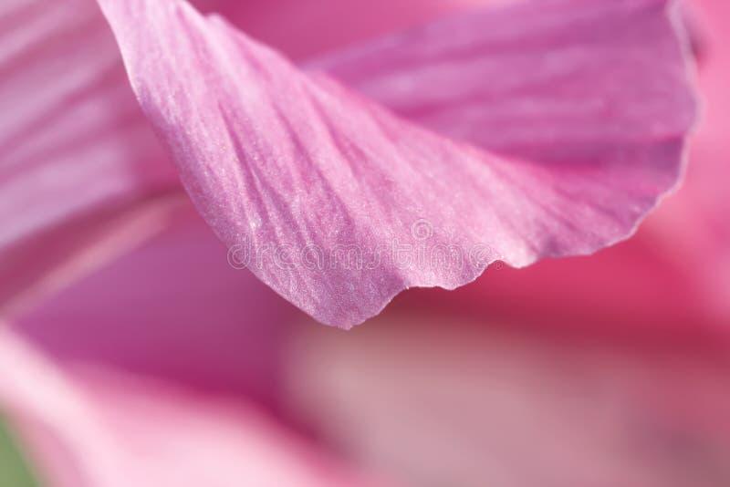 Rosafarbene Frische lizenzfreie stockfotografie