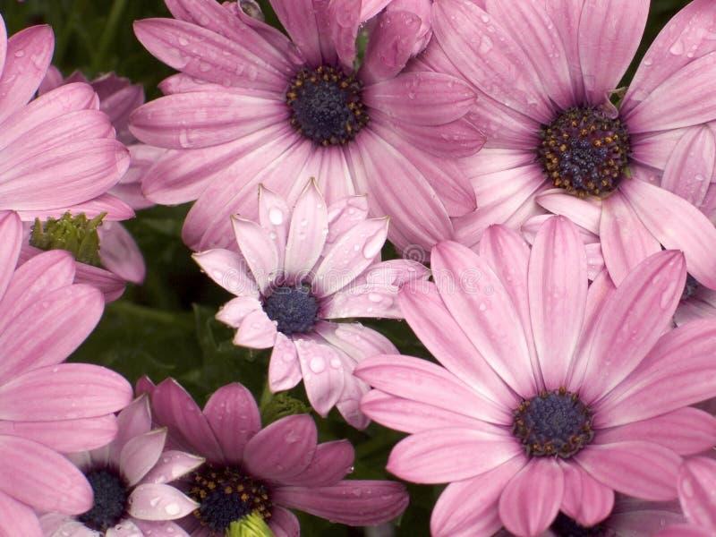 Rosafarbene Gänseblümchen stockfotos