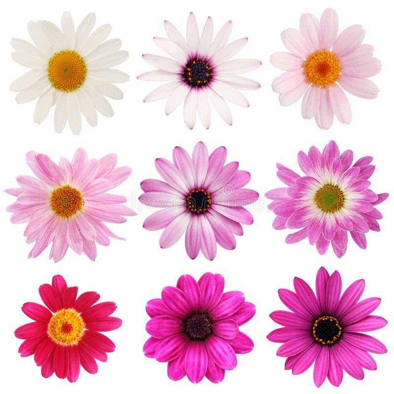Rosafarbene Gänseblümchenansammlung stockfoto