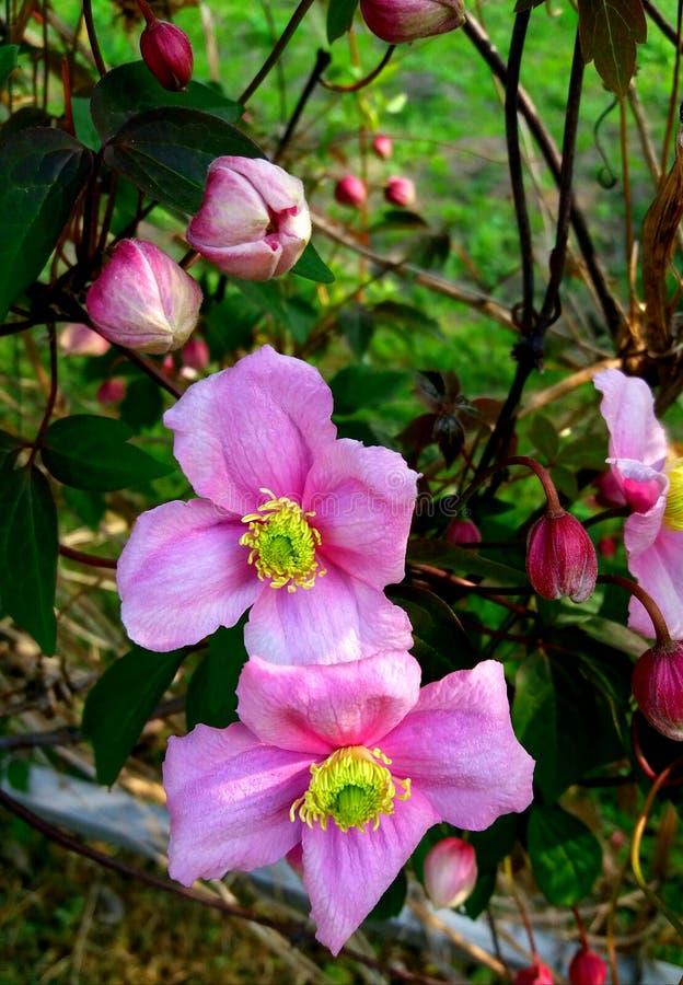 Rosafarbene Gartenblumen lizenzfreies stockfoto