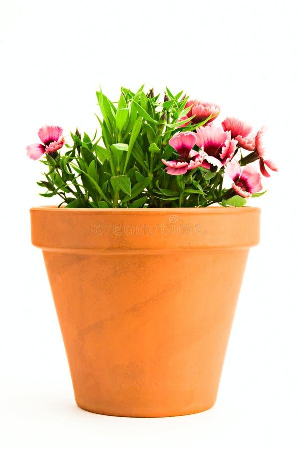 Rosafarbene Gartennelke lizenzfreie stockfotos