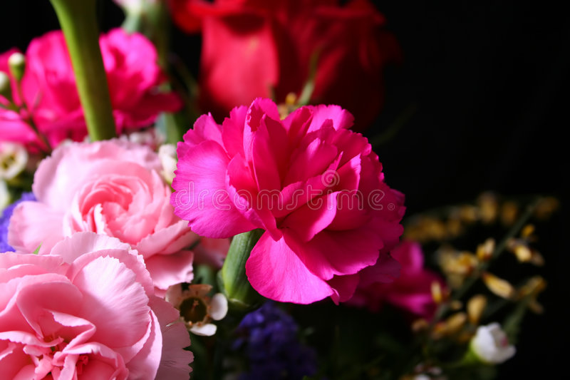 Rosafarbene Gartennelken stockfotografie