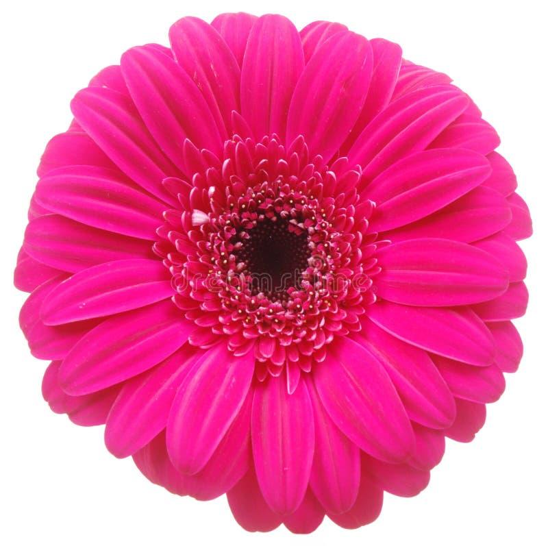 Rosafarbene Gerber Blume auf Weiß stockfoto