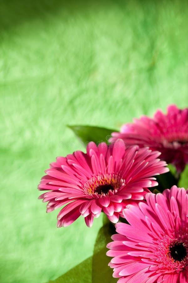 Rosafarbene gerber Blumen lizenzfreies stockfoto