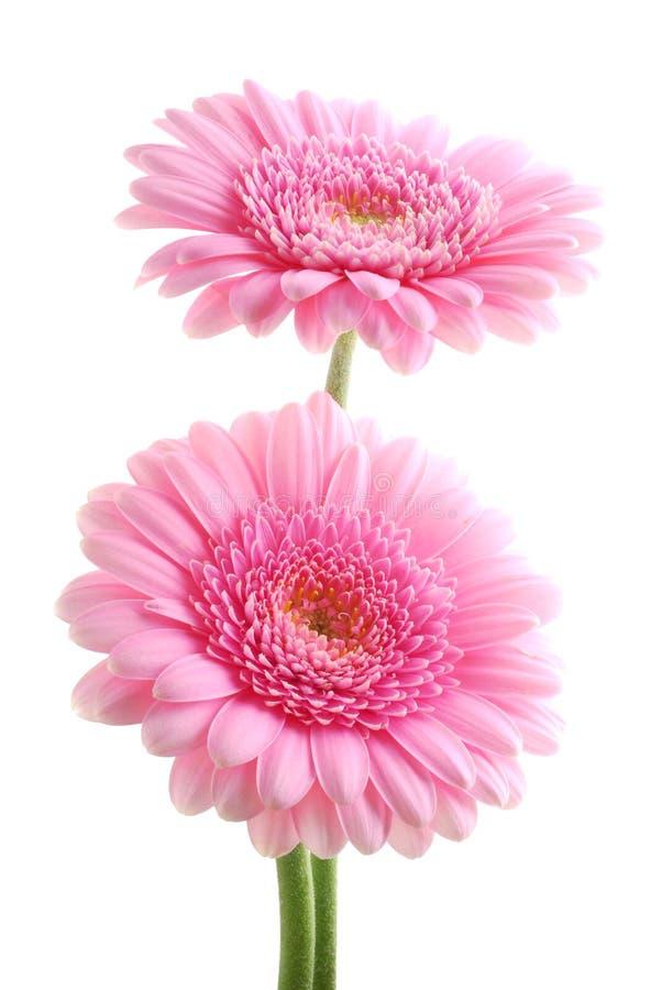 Rosafarbene Gerber Gänseblümchen stockbild