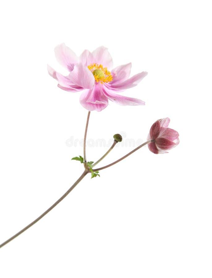 rosafarbene japanische anemone stockbild bild von anemone sch n 6402397. Black Bedroom Furniture Sets. Home Design Ideas