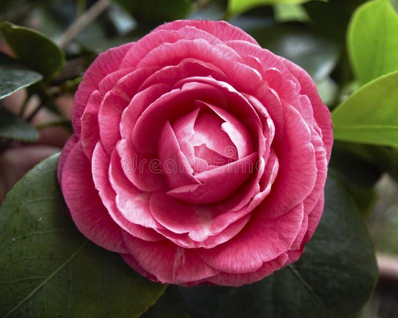 Rosafarbene Kamelieblumennahaufnahme lizenzfreies stockfoto