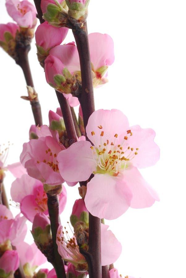 Rosafarbene Kirschblume stockbild