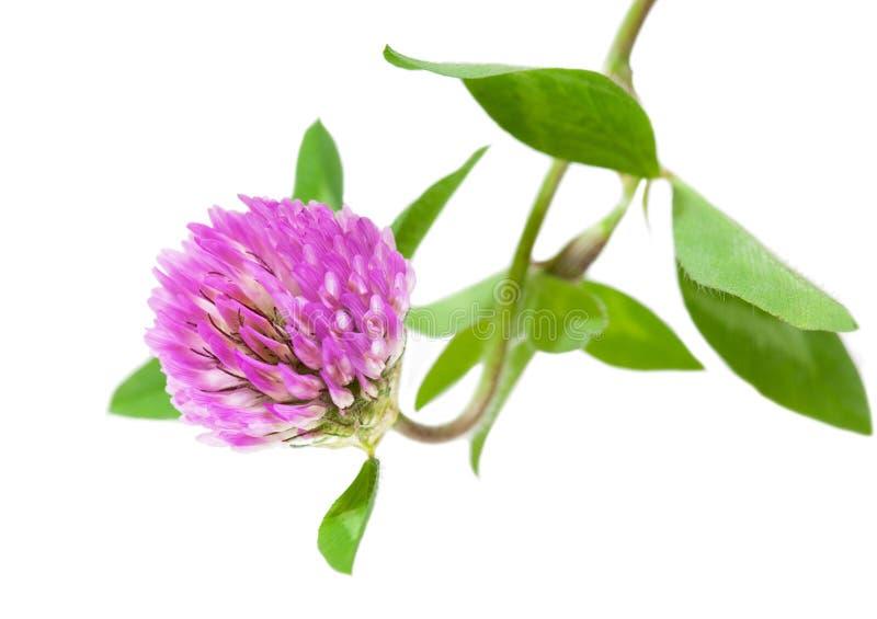 Rosafarbene Klee-Blume lizenzfreies stockbild