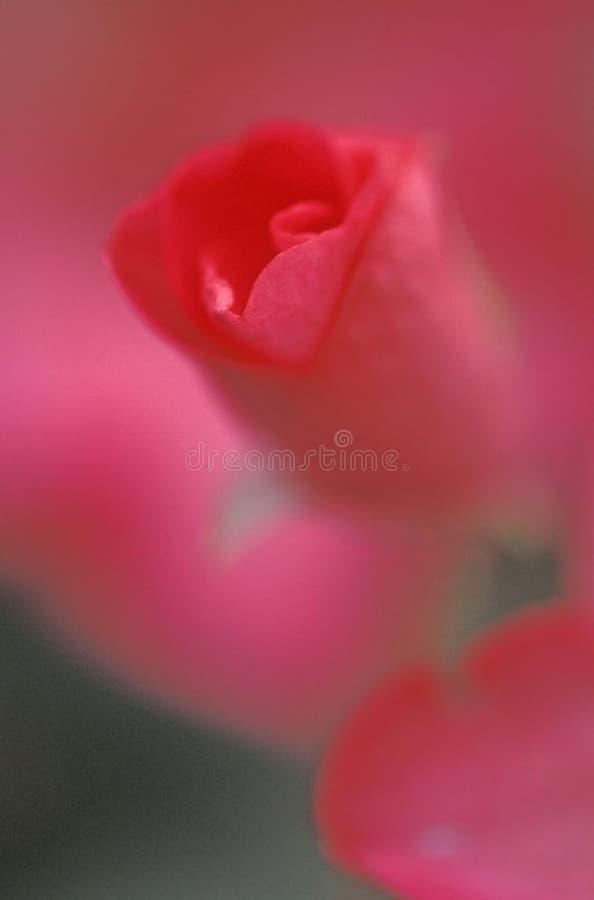Download Rosafarbene Knospe Des Auszuges Stockbild - Bild von makro, stieg: 38843