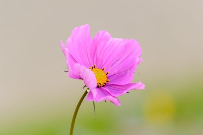 Rosafarbene Kosmosblume stockbilder