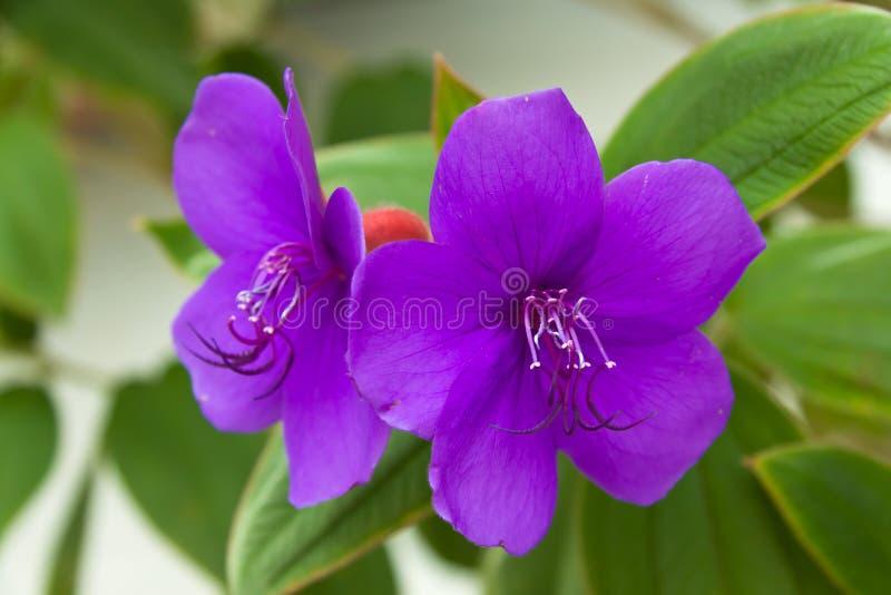 Rosafarbene Lilie auf dem Naturhintergrund lizenzfreies stockfoto