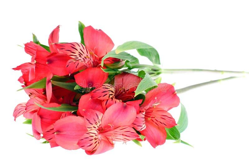 Rosafarbene Lilie getrennt auf weißem Hintergrund stockfoto