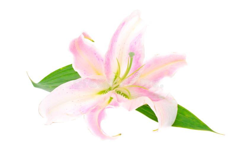 Rosafarbene Lilie getrennt auf weißem Hintergrund stockfotografie