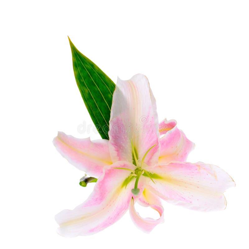 Rosafarbene Lilie getrennt auf weißem Hintergrund stockfotos