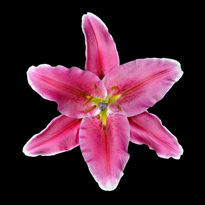 Rosafarbene Lilien-Blume getrennt auf schwarzem Hintergrund lizenzfreie stockfotografie