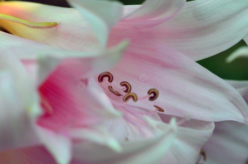 Rosafarbene Lilienblume lizenzfreie stockfotos